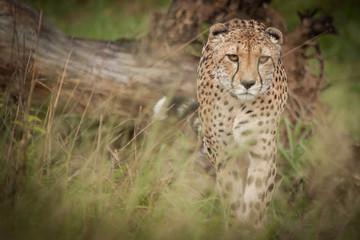 The Elusive Cheetah