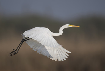 The Great White Egret Flying