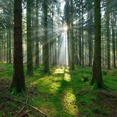 Spruce Tree Forest, Sunbeams through Fog illuminating Moss Covered Forest Floor