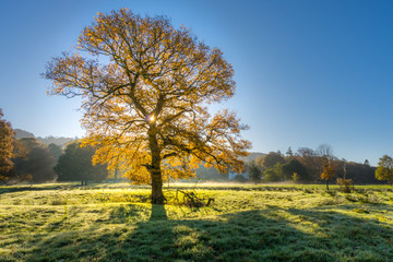Backlit Oak Tree