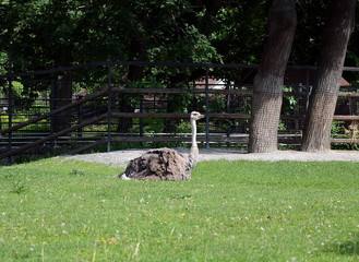 Ostrich in the Moscow zoo.