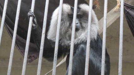 fancy, funny, monkey sitting in a zoo, in an iron cage. Spring photo of an animal close up.