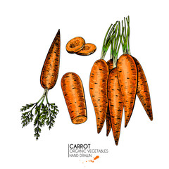 Vector hand drawn set of farm vegetables. Isolated carrots. Engraved colored art. Organic sketched vegetarian objects. Use for restaurant, menu, grocery, market, store, party