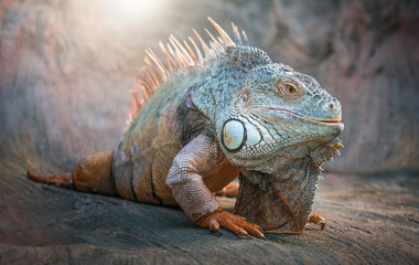 Iguana Lizard. Animals.