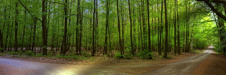 Sun shines through the green deciduous trees in the forest, panoramic landscape shot