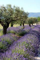 Türaufkleber Lavendel Provence, champs de lavande et oliviers, Luberon, Vaucluse, France