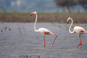 Pair of Greater Flamingo, Phoenicopterus roseus, Ujjani Dam backwaters, Bhigwan, Maharashtra