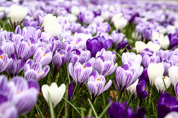 Close up of spring crocuses blooming in a park