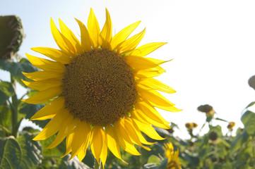 Ripe Sunflower flower
