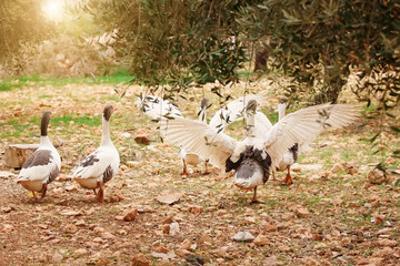 goose flock in the garden