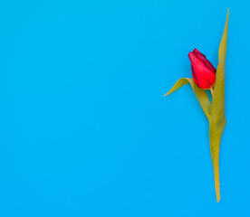 a single red tulip on turquoise background. Flat-lay. Negative space.