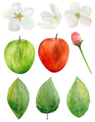 Watercolor red and green apples clip art. Garden tree flowers. Fruit isolated
