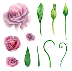 Watercolor eustoma. Purple and pink flowers clip art. Floral isolated