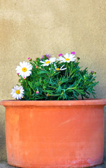 White pink daisies in clay pot