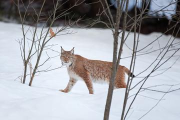 Eurasian lynx, lynx lynx, Germany