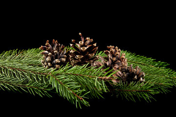 branch of a tree with cones on a black background