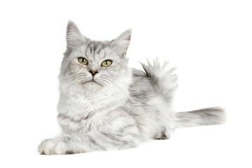 Britisch Langhaar Katze isoliert auf weißem Grund
