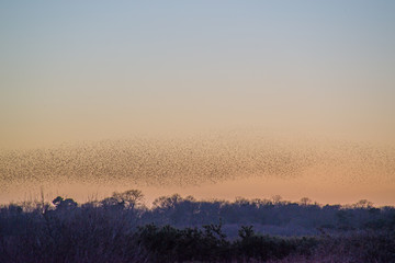 Murmurations of the starlings in the sky at RSPB Minsmere