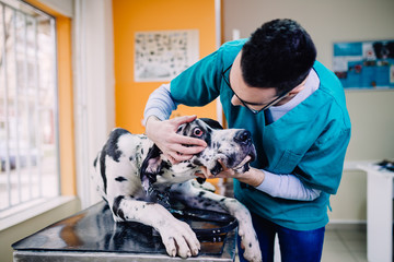 Great dane at veterinary.