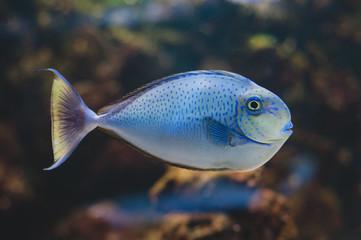 Fish - Acanthurus bariene. Black-spot surgeonfish
