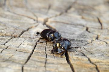 A rhinoceros beetle on a cut of a tree stump. A pair of rhinoceros beetles