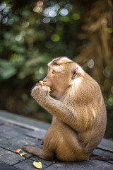 Wild monkey eats longan in the park. Thailand, Phuket, Monkey Hill