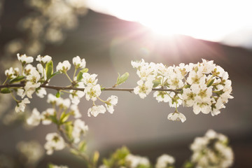 Apple tree with flowers in morning sunlight