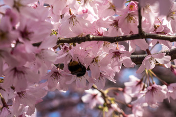 Cherry tree blooming with a bee in a middle in New Zealand.