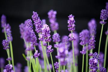 Lovely lavender stems against black background
