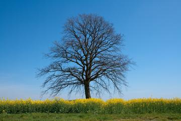große Eiche ohne Laub in einem blühenden Rapsfeld mit blauem Himmel