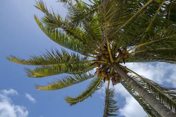 Rarotonga Cook Islands. Polynesia. Palmtree at beach. Bounty Island