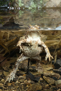 Erdkröten-Pärchen im Teich (Bufo bufo) Common Toad