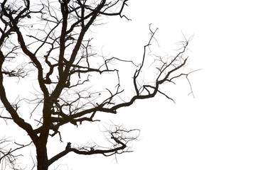 Dead branches , Silhouette dead tree or dry tree on white background