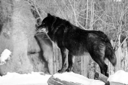 Black wolf Canis lupus walking in the winter snow