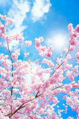 Fotobehang Lichtroze Rosa Kirschblüten im Frühling bei Sonnenschein im Hochformat