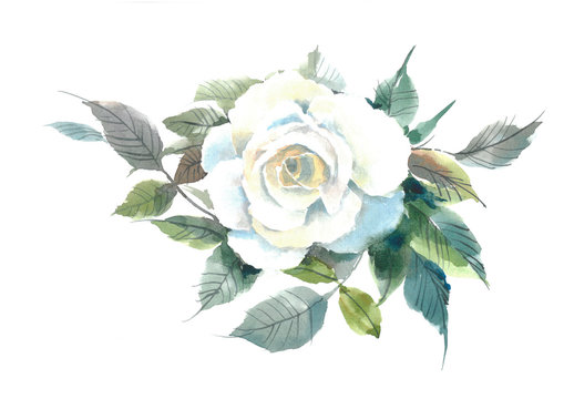 Blossoming tender white rose. Watercolor flower. Watercolor background.