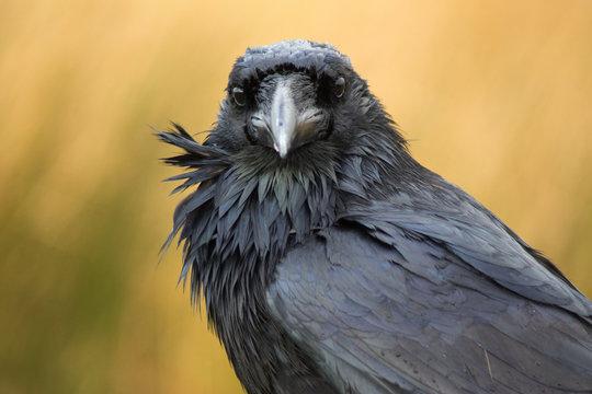 A raven in Dartmoor, UK