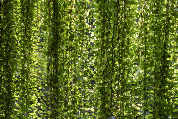 jungle curtain hanging plants offer shade, Pothos or devil's ivy hang and make a jungle curtain that offers Green and yellow light