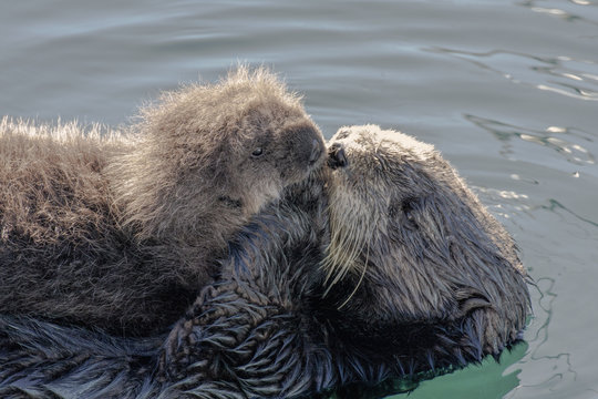Sea otter with pup in Monterey, California.