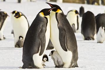 Fotorolgordijn Pinguin Emperor penguins(aptenodytes forsteri)with Chicks, in a colony on the sea ice of Davis sea,Antarctica