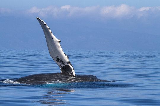 Humpback whale wavinf during a whale watch on Maui.