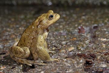 Erdkröte hät Ausschau nach Weibchen (Bufo bufo) Common Toad