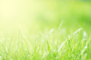 Spring natural background with green grass and dew. Soft selective focus.