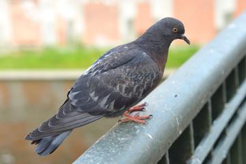 Dove closeup on the railing.