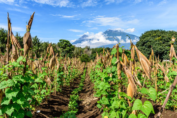 Looking along rows of corn & beans to two volcanoes: Fuego volcano & Acatenango volcano in morning light,  Guatemala, Central America