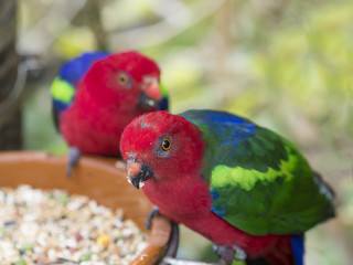 two close up exotic colorful red blue green parrot Agapornis parakeet eating feeding from bowl of grain,selective focuse on eye