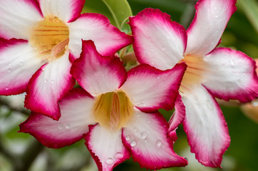 Tropical flower, white and pink petals with yellow center with rain drops clinging to the petals