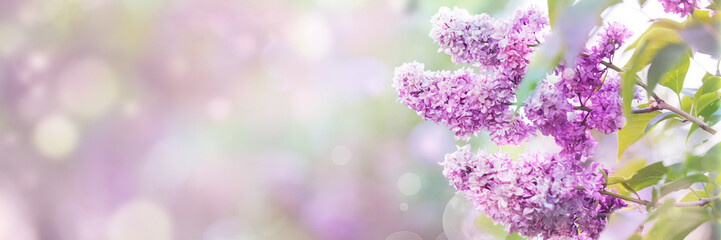 Foto auf Leinwand Flieder Lilac flowers spring blossom, sunny day light bokeh background