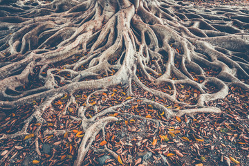 The spreading root system of the old tree on the ground. The variety of shapes in wild nature. Perfect background for the various kinds of collages, illustrations and digital media.