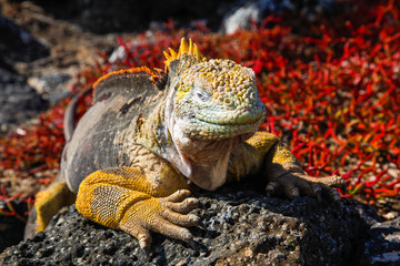 Typical land iguana of Isla Plaza Sur, Galapagos